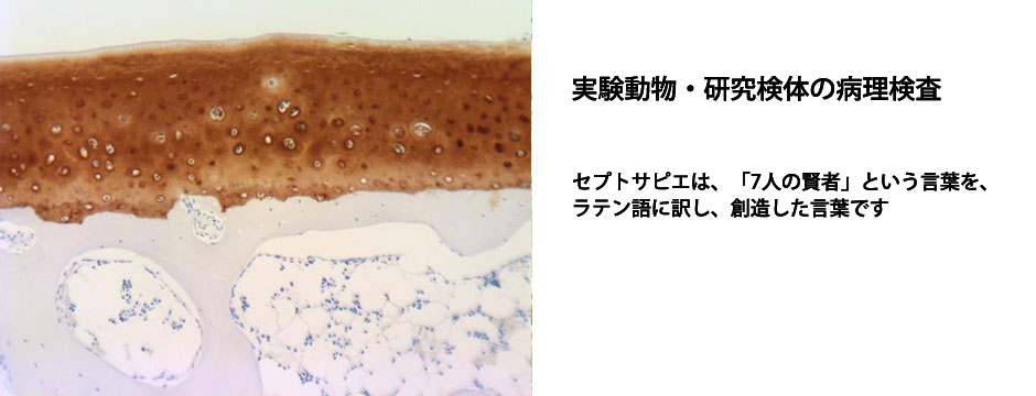 Collagen TypeⅡ染色